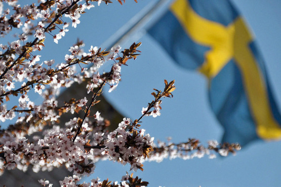 swedish-flag-blossoms